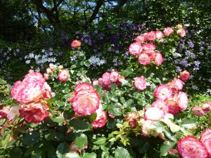庭園のバラやクレマチス